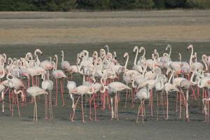 större flamingo (phoenicopterus roseus) foto