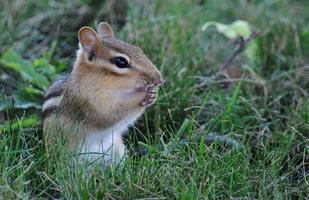 varning chipmunk i sommargräs foto