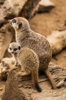 mamma och baby meerkat satt bredvid varandra.