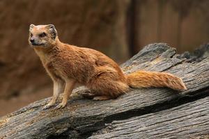 gul mongoose (cynictis penicillata) foto