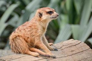 meerkat - suricate - suricata suricatta foto
