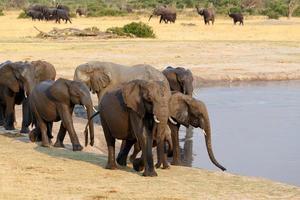 besättning av afrikanska elefanter som dricker vid ett lerigt vattenhål foto