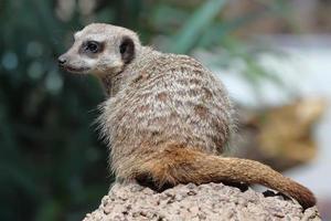 skönhet meerkat foto