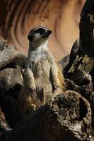 titta ut meerkat foto