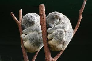 koala tillsammans foto
