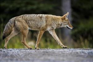 coyote (canis latrans) foto