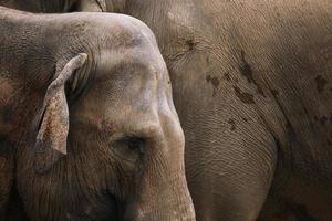 indiska elefanter (elephas maximus indicus) foto