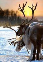 norra hjortar