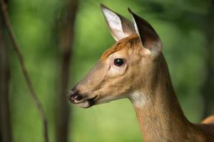 whitetail hjort varnar i skogen foto