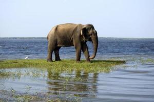 ung elefant i nationalparken foto