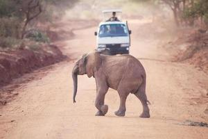 afrikansk elefant (loxodonta africana) foto