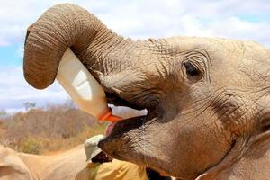 ung afrikansk orphan elephant