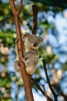 koala på currumbin vilda djurpark foto