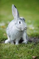 påskharen, kanin foto