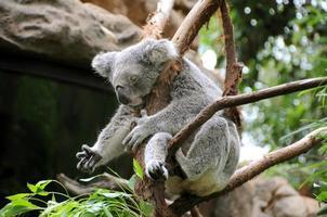 koala sover i ett eukalyptusträd foto