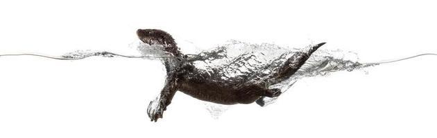 sidovy av en europeisk oter som simmar vid ytan foto