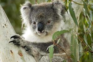koala på känguruön, Australien foto
