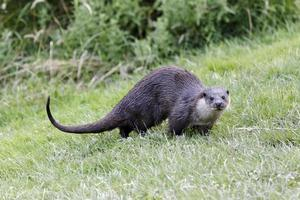 otter, lutra foto