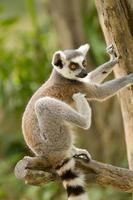 ring-tailed lemur (lemur catta) foto