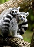 ring tail lemurer foto