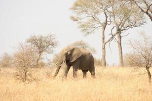 afrikansk elefant foto