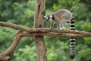 sittande lemur foto