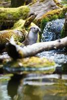 eurasian otter (lutra lutra) foto