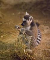lemur roligt djur foto