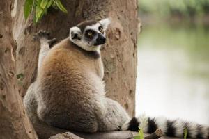 ring-tailed lemur foto