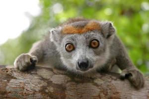 ett fokuserat skott av en krönad lemur foto