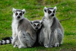 föräldrar och baby ring-tailed lemur foto