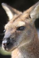 australiska wallaby foto