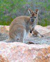 känguru - wallaby i tasmania australien foto