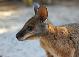 tammar wallaby, Australien foto