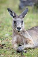 stor grå känguru, Australien foto