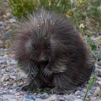 baby porcupine porträtt foto