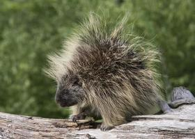porcupine porträtt foto