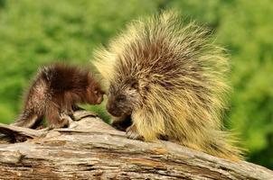 mor och bebis svin. foto