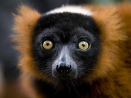 röd ruffed lemur foto