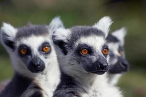 grupp söta ser ring-tailed lemurer foto