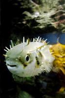 blåsa fisk - tetraodontidae foto
