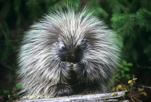 baby porcupine äter en crabapple medan du tittar på kameran foto
