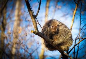 Nordamerikansk grisvinen vilar i en boreal skog. foto