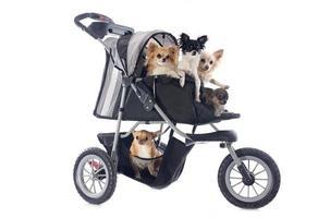 chihuahuas i barnvagn foto