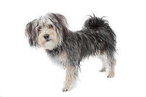 blandad ras maltesisk hund / yorkshire terrier foto