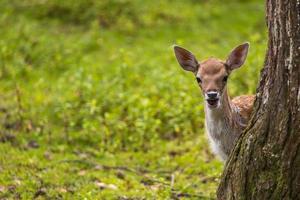 närbild hjort i vild natur foto