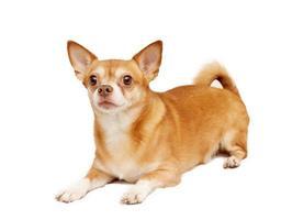 chihuahua hua hund, isolerad på en vit bakgrund foto
