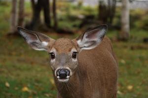 vit-tailed hjort i naturliga livsmiljöer foto