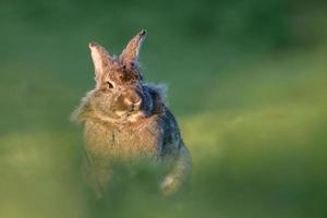 kanin i ett fält av gräs foto