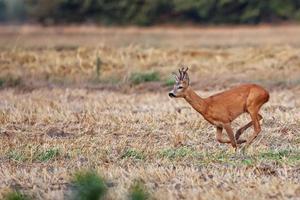 buck hjort på språng foto
